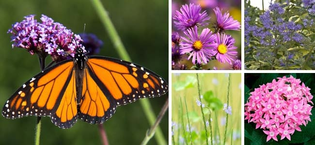 Monarch Butterfly on Vervain, Aster, Caryopteris, Jamaica Vervain, Pentas