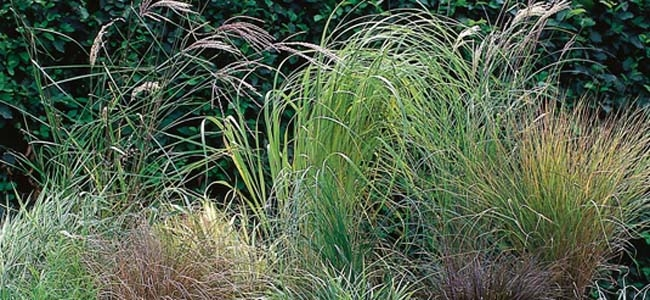 Grouping of Ornamental Grasses