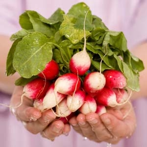 bundle of red and white radishes held by hands