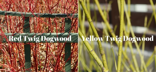 Red and Yellow Twig Dogwoods