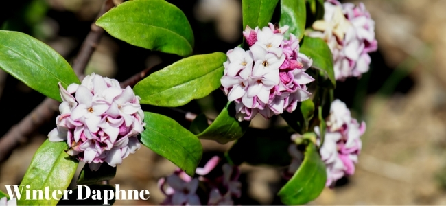 Pink Winter Daphne
