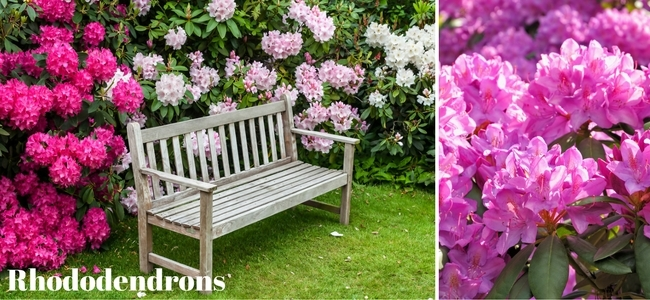 Blooming Pink and White Rhododendron Shrubs