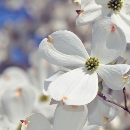 Flowering Dogwood, White