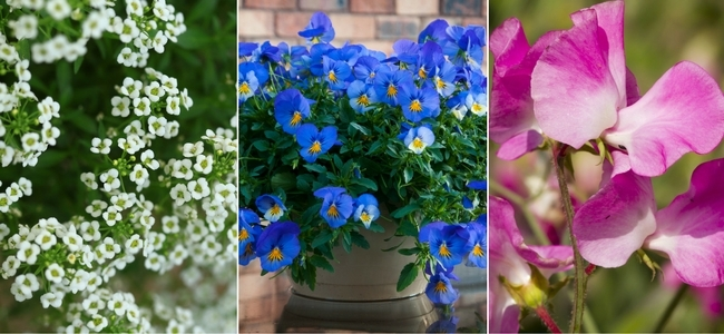 White Allysum, Blue Trailing Pansies and Sweat Pea Flowers