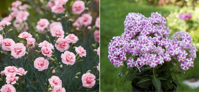 Dianthus Scent First Series and Annual Phlox