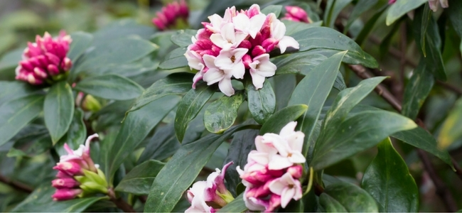 Fragrant plants for containers my garden life spring mightylinksfo