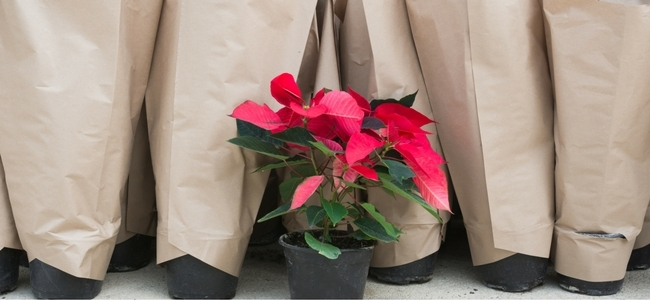 Poinsettias covered in brown paper bags