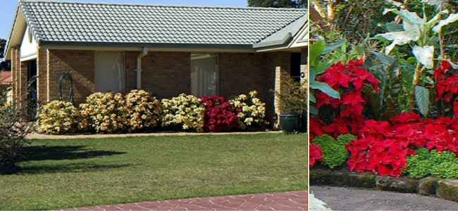Landscape Poinsettias against a house and in a garden bed