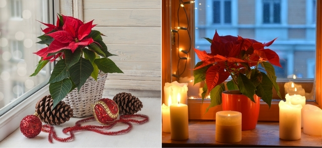 Poinsettia in natural light and candle light