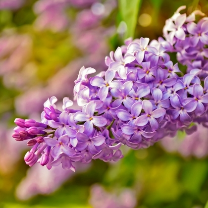 Lilacs, Common