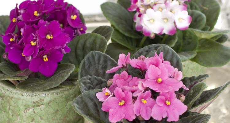 Pink, Magenta and Bicolor African Violets in Green Containers