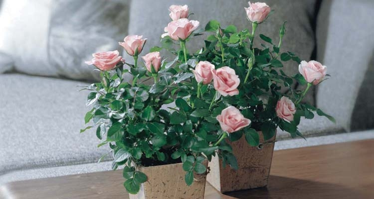 Miniature Pale Pink Roses Kordana in Square Pots