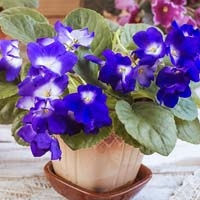 Vivid Purple African Violet in Brown Pot