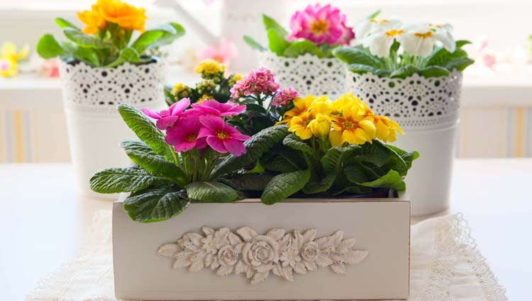 Primroses and Kalanchoe in Decorative White Containers