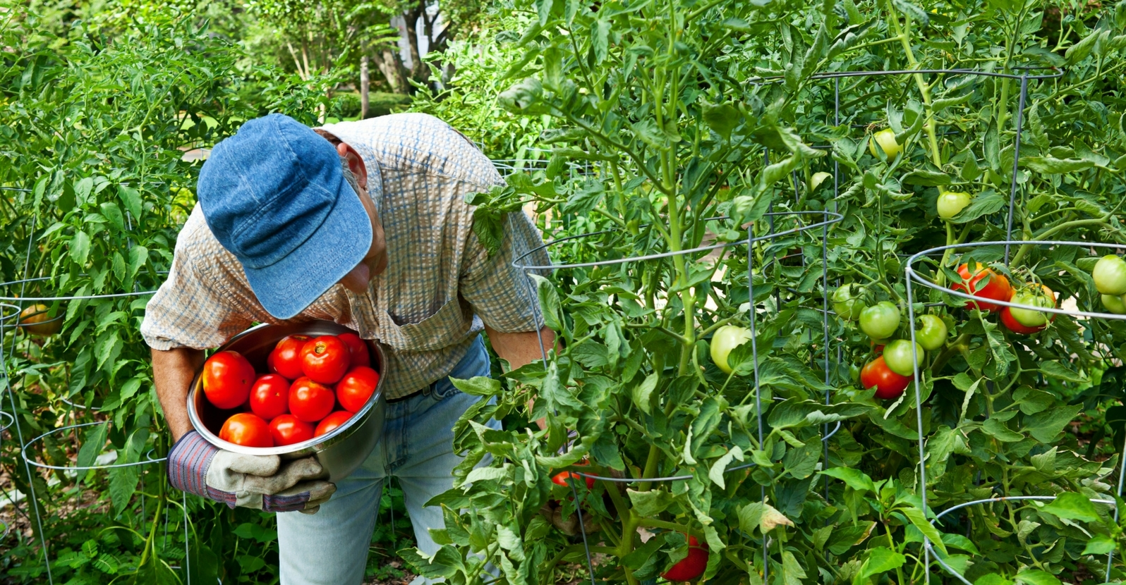 Tips for Tomato Caging, Staking and Pruning