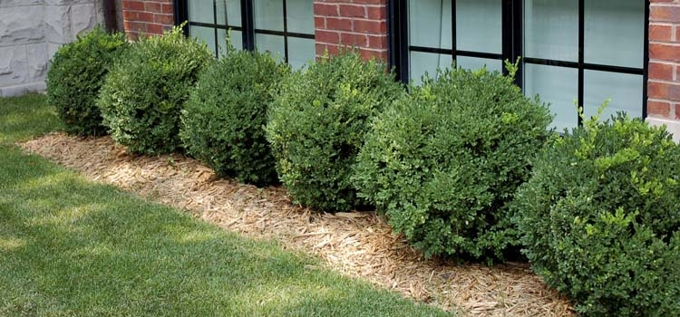 Boxwood (Buxus microphylla var japonica)