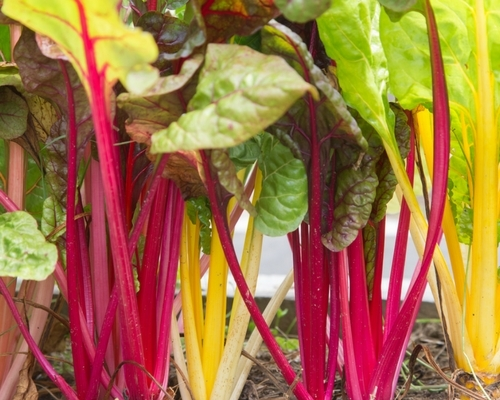 'Bright Lights' Swiss Chard