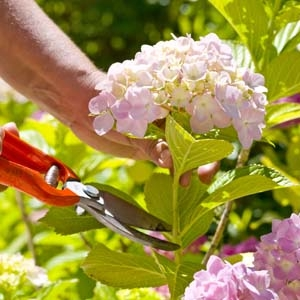 Cutting a Hydrangea Flower with Pruners