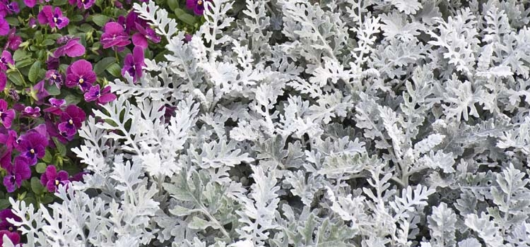 Dusty Miller (Senecio cineraria)