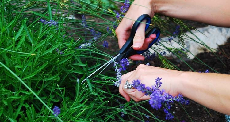 Harvesting Lavender with Scissors