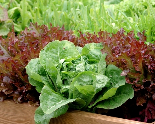 Multi-Color Leaf Lettuce