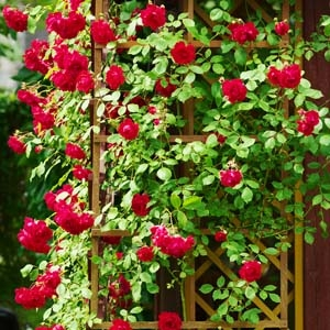 Red Climbing Rose on Trellis