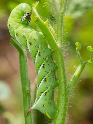 Tomato hornworm caterpillar