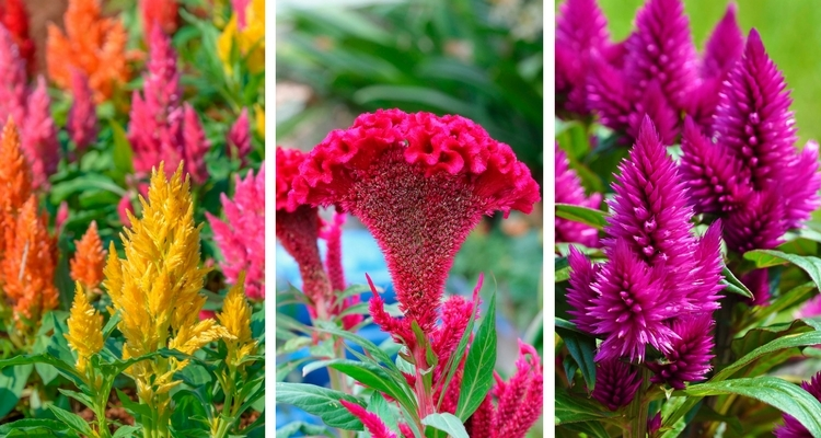 Types of Celosia Flowers - Plumed Celosia, Crested Cockscomb, Spiked Celosia