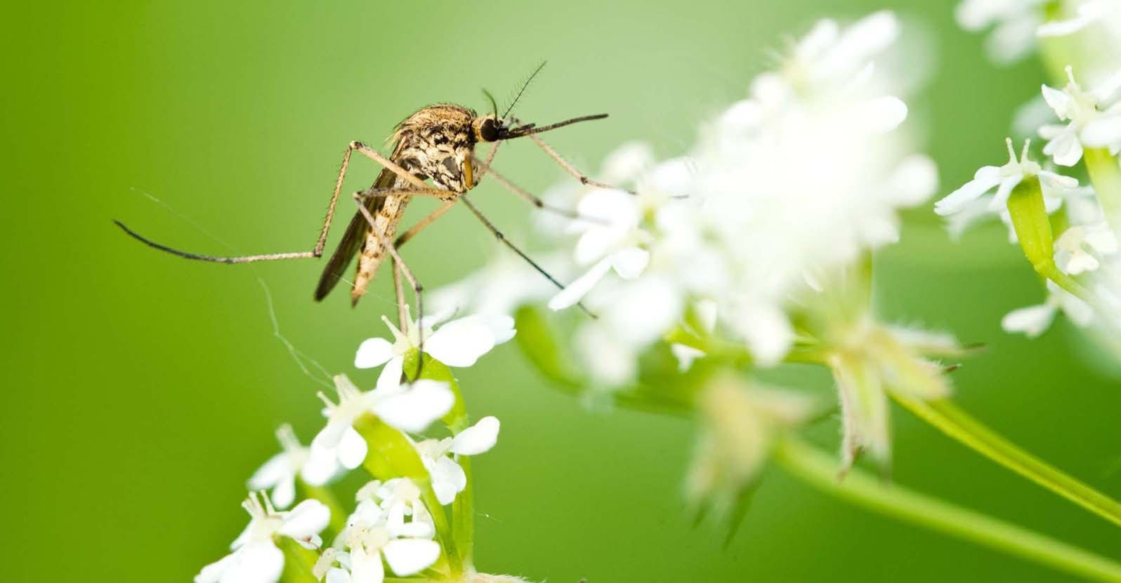 15 Plants That Safely Repel Mosquitos