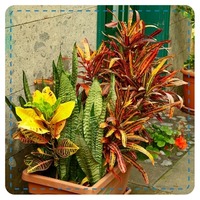 Croton, Sansevieria in Container