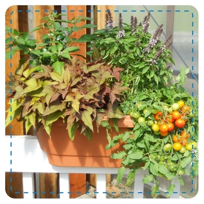 Deck Rail Window Box with Annuals and Vegetables(Sweet Potato Vine, Salvia, Cherry Tomato, Pepper)