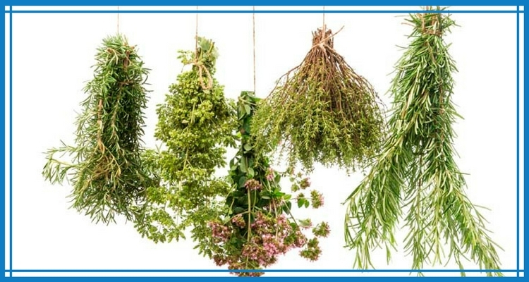 Harvested Herbs Hanging to Dry