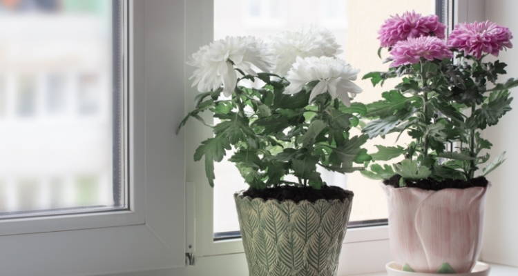 Potted chrysanthemums on a windowsill