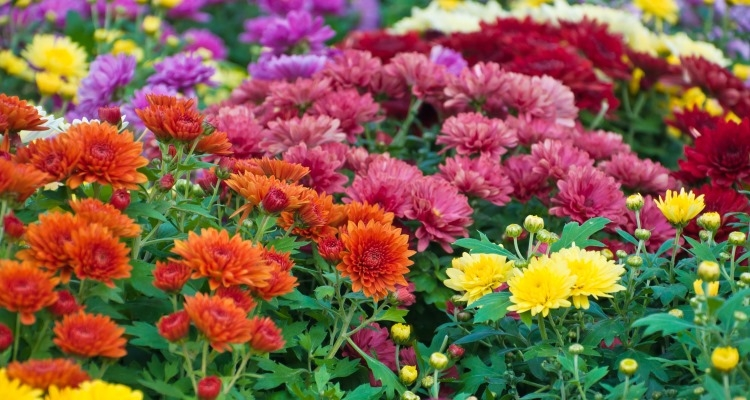 Colorful garden chrysanthemums