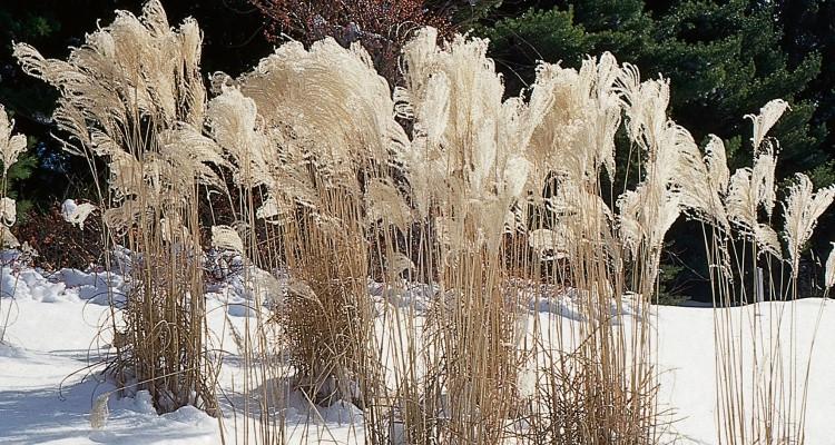 Ornamental grasses provide beauty and refuge for wildlife through the winter.