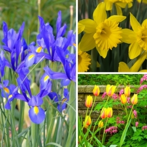 Dutch Iris, Daffodils, Tulips