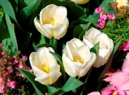 Tulipa hybrids, Dwarf early blooming tulips