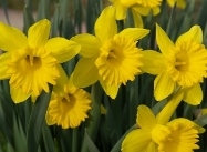 Narcissus hybrids, Late blooming Daffodil