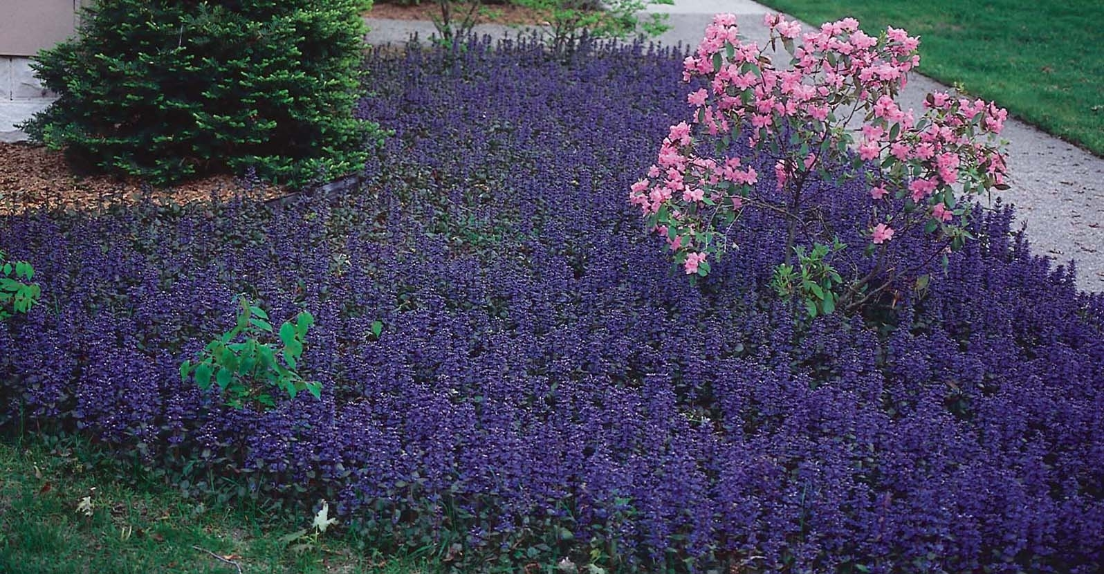 Top 5 Well-behaved Perennial Groundcovers