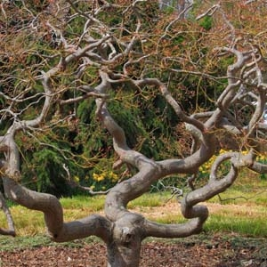 Twisted Tree Branches