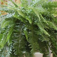 Leaves of Boston Fern, Nephrolepis exaltata