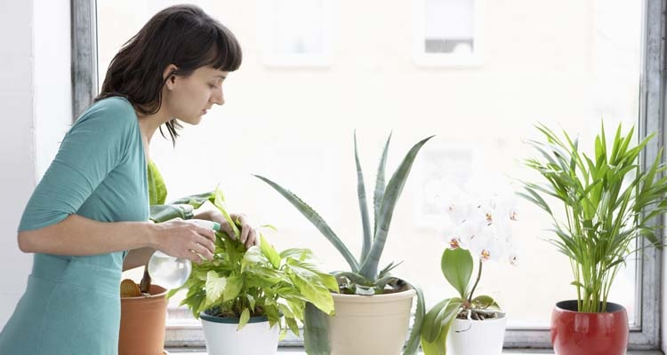 Inspecting and spraying house plants