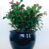 Pink Crown of Thorns Euphorbia milii