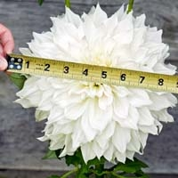 Measuring Dahlia with Tape Measure
