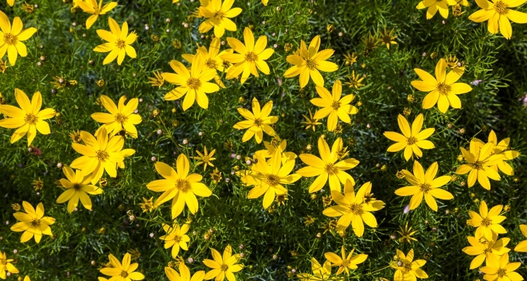 Five extra long blooming perennials my garden life coreopsis verticillata tickseed or thread leaf coreopsis mightylinksfo