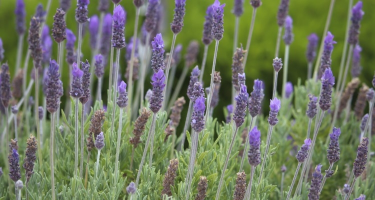 Lavandula angustifolia, English Lavender