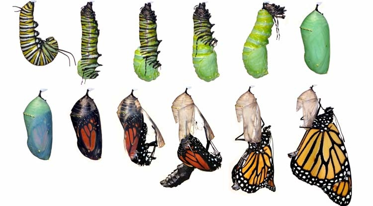 Monarch Butterfly Life Cycle, Danaus plexippus