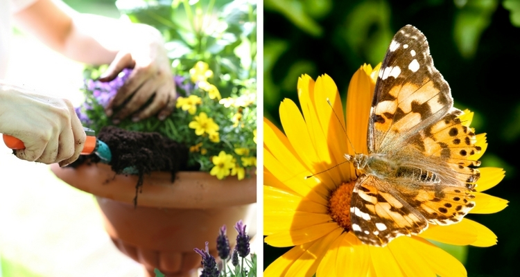 Planting Container Butterfly Garden, Painted Lady Butterfly on Yellow Calendula