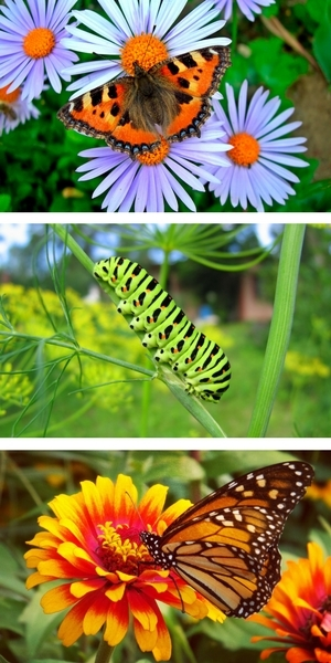 Tortoise Shell Butterfly on Aster, Swallowtail Caterpillar on Dill, Monarch Butterfly on Zinnia