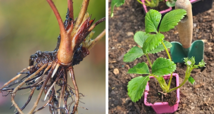 strawberry plants, bare root or potted